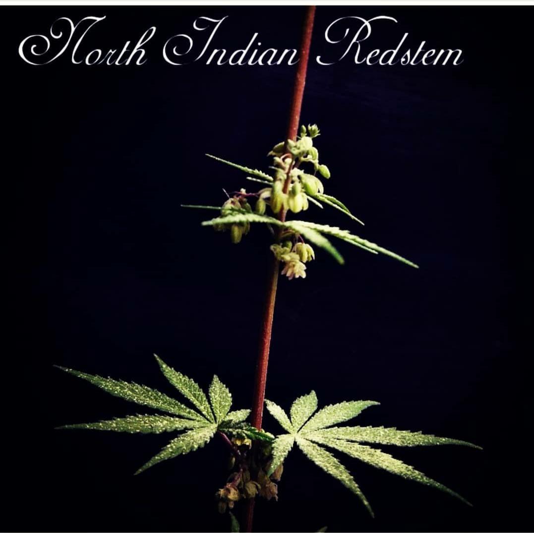 NORTH INDIAN REDSTEM