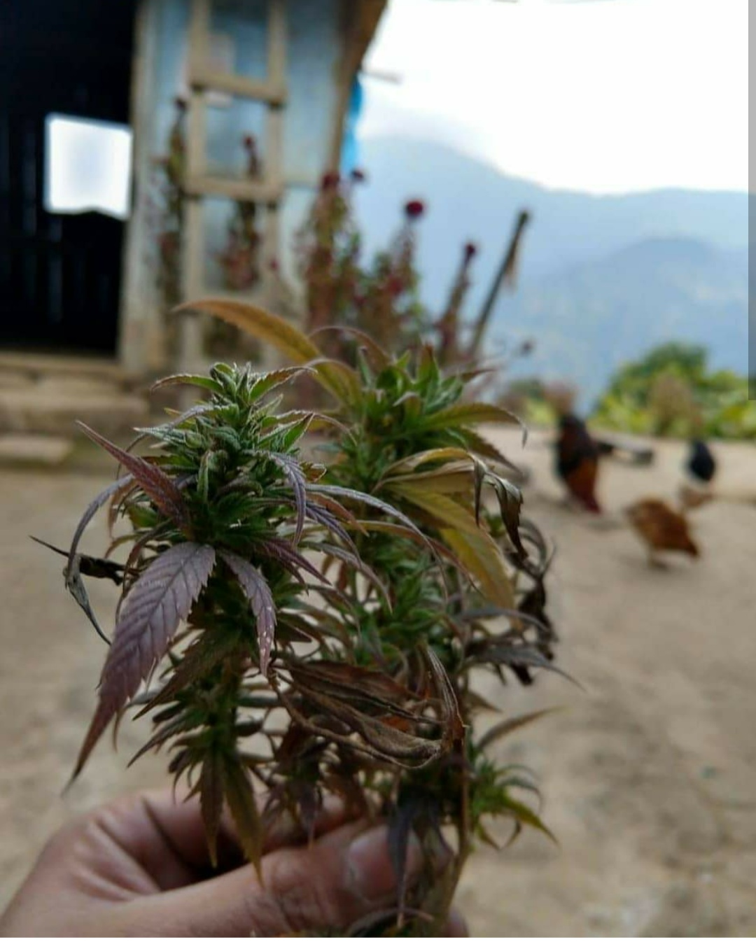 Kalimpong (Darjeeling WB)