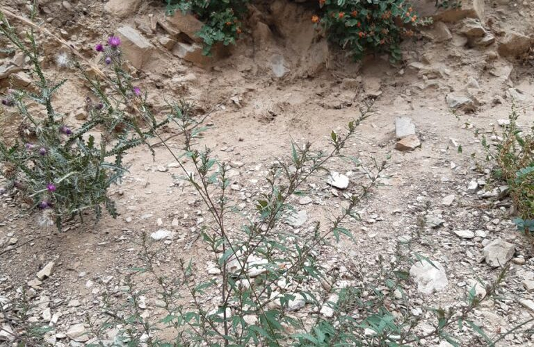 PHYSICAL ADAPTATIONS IN LANDRACE CANNABIS VARIETIES FROM HIGH ALTITUDE COLD DESERT ZONES AND MONSOON INFLUENCED SUBTROPICAL HIGHLANDS IN CHAMOLI (UTTRAKHAND)